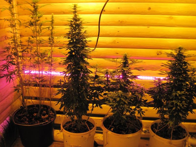 Онлайн про коноплю что будет если легализуют марихуану